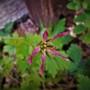 Geranium.....Oxanium....Sue Cox
