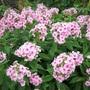 Pink Phlox paniculata