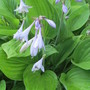IMG 7518-One of the small leaf hostas in blossom