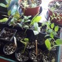 Cobaea scandens cuttings (for Hywel)