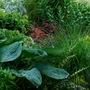 Grasses, Coleus, Hosta, Ansonia and Epimedium