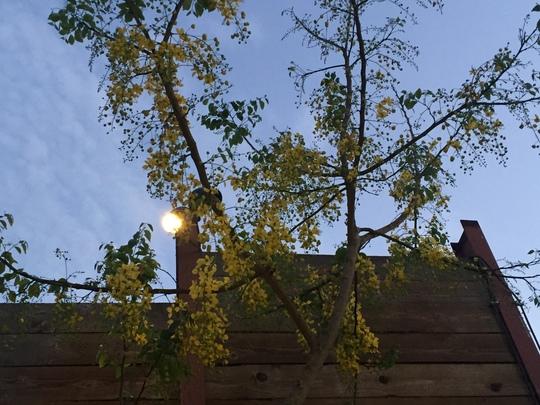 Cassia fistula - Golden Shower Tree (Cassia fistula - Golden Shower Tree)