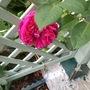 Rose Falstaff (Rosa Falstaff)