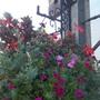 Basket with Fuchsia 'Thalia'