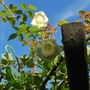Cup and saucer vine against a blue sky.... (Cobaea scandens (Cup and saucer plant))