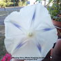 Morning Glory (White) flowering on balcony 2nd August 2018 (Ipomoea purpurea (Morning glory))
