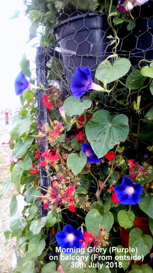 Morning Glory (Purple) on balcony From outside 30th July 2018