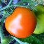Tomato Money maker