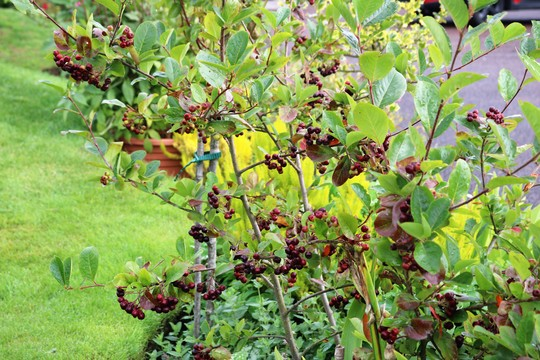 Ripening 'Choke Berries' Aronia prunifolia 'Viking'