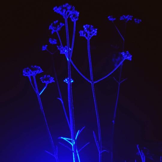 Verbena bonariensis.... (Verbena bonariensis (Verbena))