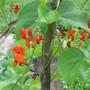 IMG 7558-Scarlet Runner Beans..Yum!