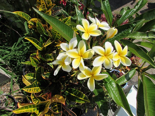 Plumeria in pot gets going. (Plumeria rubra (Atabaiba Rosada))