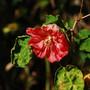 Abutilon hybrid (Abutilon x hybridum)