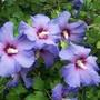 Hibiscus (for Thrupennybit)