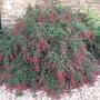 Fuchsia magellanica.