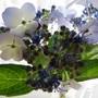Hydrangea Summer Lace (hydrangea H. macrophylla)