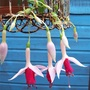 Fuchsia 'Land van Beveren'