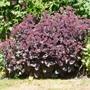 Sedum telephium 'Purple Emperor' (Sedum telephium (Sedum))