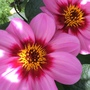 Dahlia - names escapes me!
