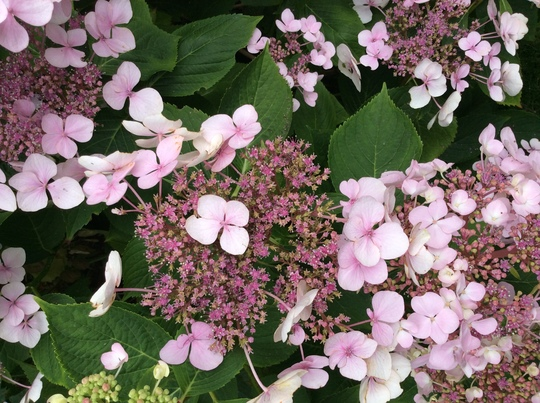 Hydrangea lace cap- not sure of the name