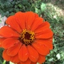 Bright orange zinnia