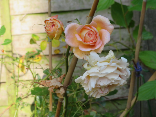 Abraham Darby flowering cluster