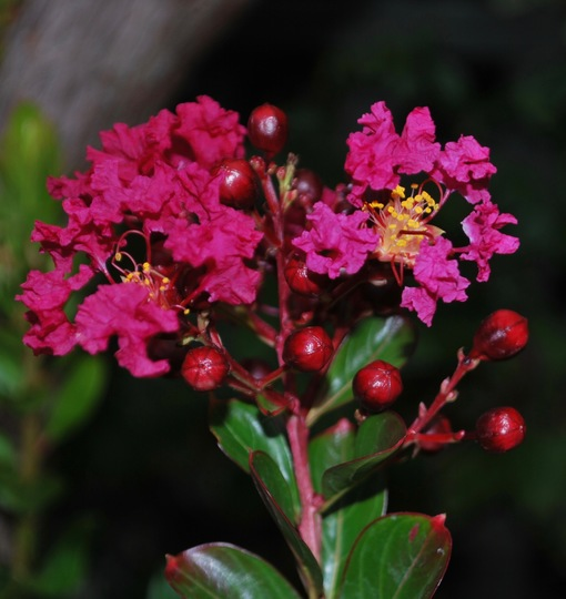 Lagerstroemia flowers.... (Lagerstroemia indica.)