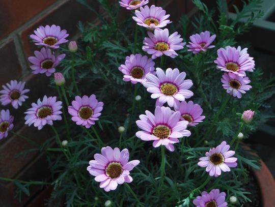 Pink Daisies.......
