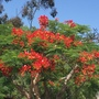Delonix regia - Royal Poinciana Flowering (Delonix regia - Royal Poinciana)