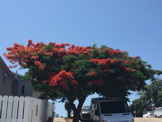 Delonix regia - Royal Poinciana Flowering (Delonix regia - Royal Poinciana Flowering)