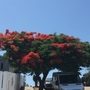 Delonix regia - Royal Poinciana Flowering (Delonix regia - Royal Poinciana Flowering)