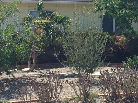 Poor Mango Tree (Mangifera indica) (Mango Tree (Mangifera indica))