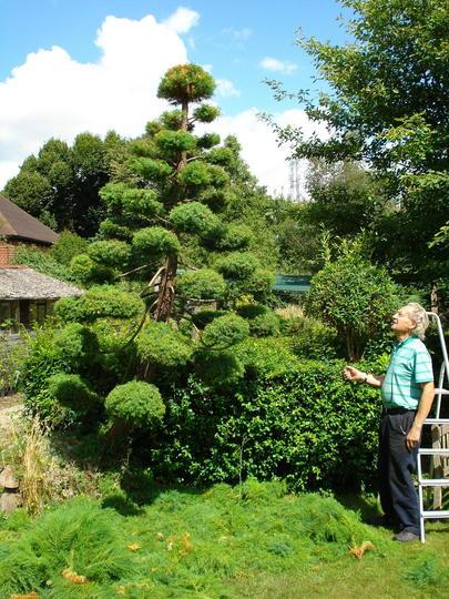 Jap.Cedar, Pruning completed