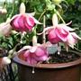 Fuchsia 'Kit Oxtoby'