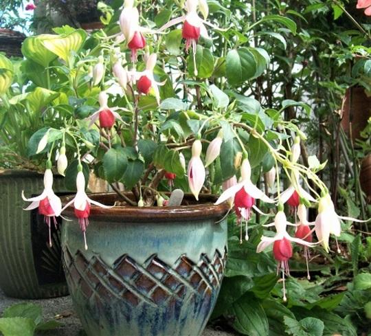 Fuchsia 'Valerie Bradley'