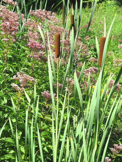 IMG 7600-Cattails and eupatorium