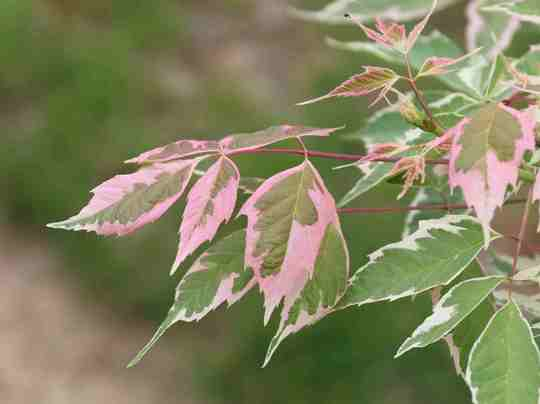 Acer Negundo 'Flamingo' (Acer negunda 'flamingo')