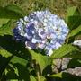 garden_hydrangea.jpg