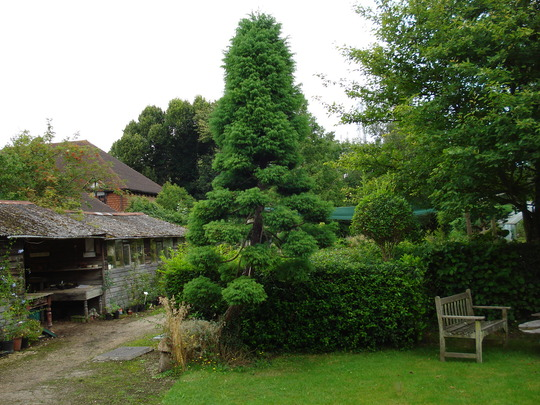 Japanese Cedar  before pruning