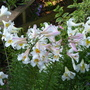 Lilium Regale and Lilium Regale Album (Lilium regale (Regal lily))