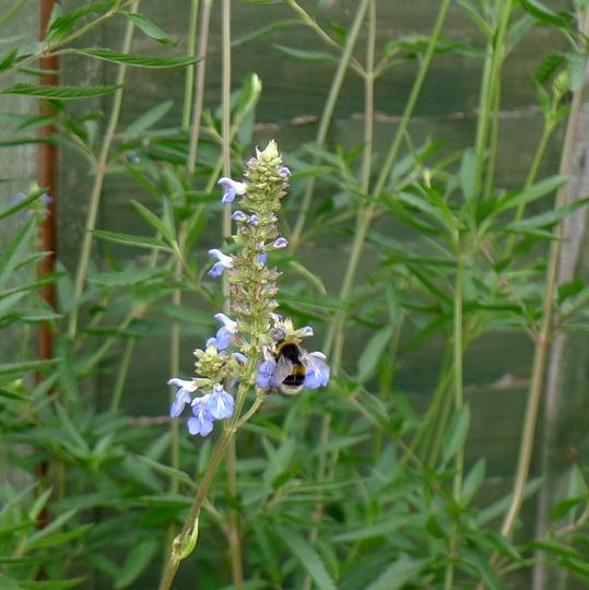 Salvia uliginosa (and friend) - 2018 (Salvia uliginosa)