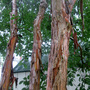 Crepe Myrtle Exfoliating Bark