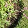 purple flower- mom's garden June 08