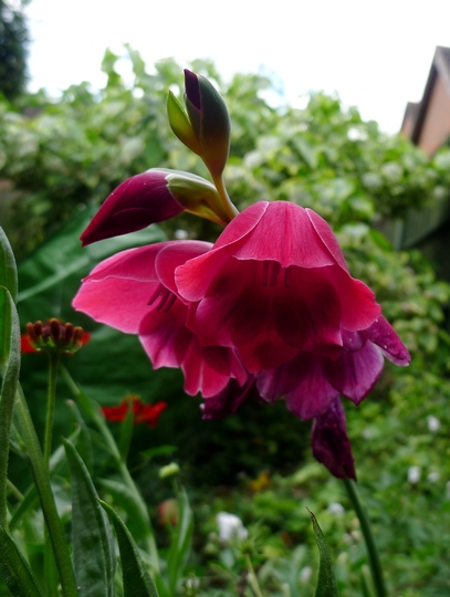 Gladiolus papilio 'Ruby' - 2018 (Gladiolus papilio)