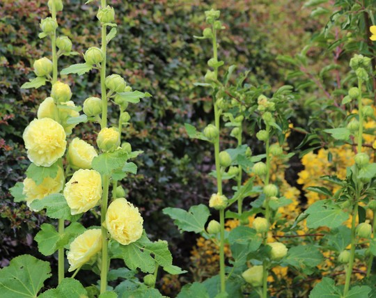 Double lemon Hollyhocks 'Chater's Yellow'