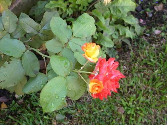 multi-color rose - mom's garden June 08