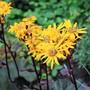Ligularia dentata 'Desdemona' flowers (Ligularia dentata)