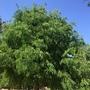 Tarindus indica - Tamarind Tree (Tarindus indica - Tamarind Tree)