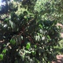 Coffea arabica - Coffee Tree (Coffea arabica - Coffee Tree)