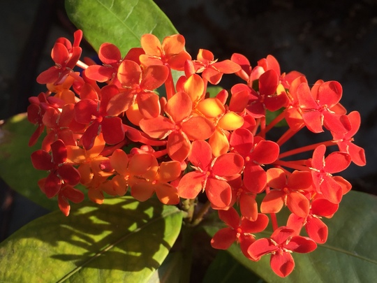 Ixora javanica - Jungle Geranium or Ixora (Ixora javanica - Jungle Geranium or Ixora)